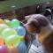 【猫動画】珍しい対決!?猫 VS 水風船での猫の反応とは・・・!?