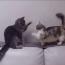【猫動画】勝負あった!?マンチカンと他の猫の対決の結果とは・・・!?