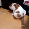 【猫動画】猫がこんな行動を!?猫の変わった行動「おしり歩き」とは・・・!?