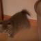 【猫動画】こりゃかわいすぎるわ!!子猫のかわいすぎるサプライズ攻撃とは・・・!?