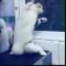 【猫動画】この猫、ノリノリすぎるww くねくねダンスでノリノリの猫とは・・・!?
