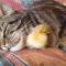 【猫動画】このコラボはかわいすぎる!!猫とヒヨコのかわいすぎる関係とは・・・!?