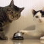 【猫動画】この猫、短気すぎる!!Twitterで話題のベルを鳴らしまくる猫とは・・・!?