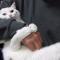 【猫動画】負けへん!頑固で甘えん坊でスイートな白猫