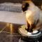 【猫動画】もはや無敵?ロボット掃除機 ルンバに乗るとやたら攻撃的になる猫
