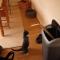 【猫動画】猫パンチ連打!!実は猫もボクシングが!?