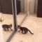 【猫動画】ライバルは自分!?鏡にうつる自分と戦う子猫が・・・