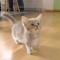 【猫動画】どうしたどうした??ひたすら訴え続けるマンチカンの子猫!?