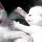 【猫画像】白猫のケンカ