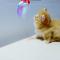 【猫動画】かわいさ爆発!!マンチカンの子猫の遊び方は・・・!?